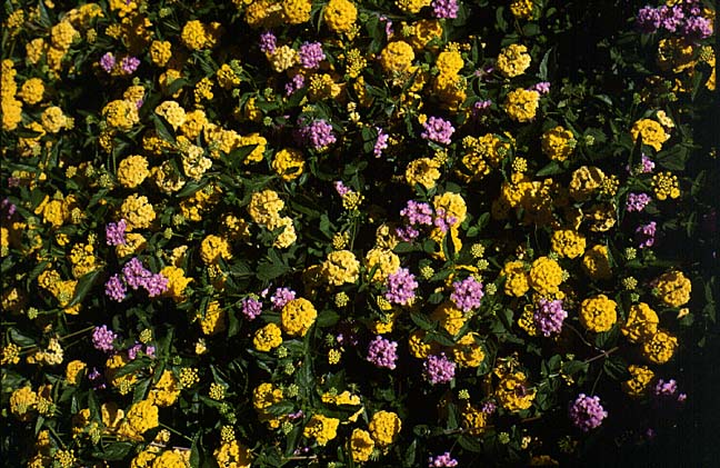 New Gold Lantana Archives Aggie Horticulture