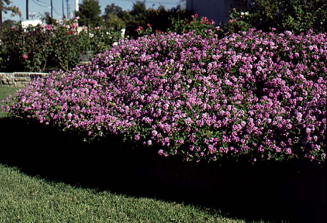 Trailing Or Weeping Lavender Lantana Archives Aggie Horticulture