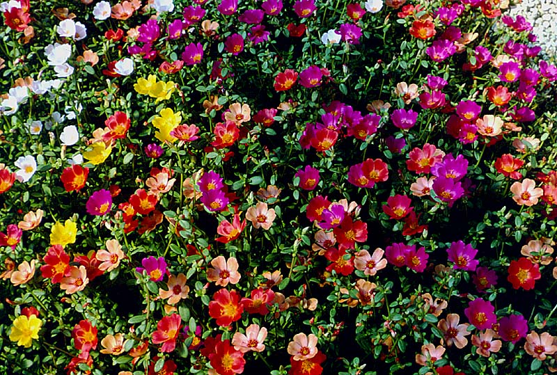 April archives aggie horticulture for Pianta portulaca
