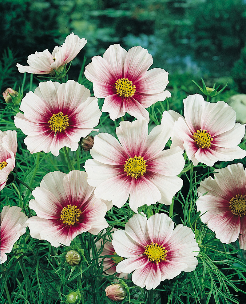 Cosmos | Archives | Aggie Horticulture