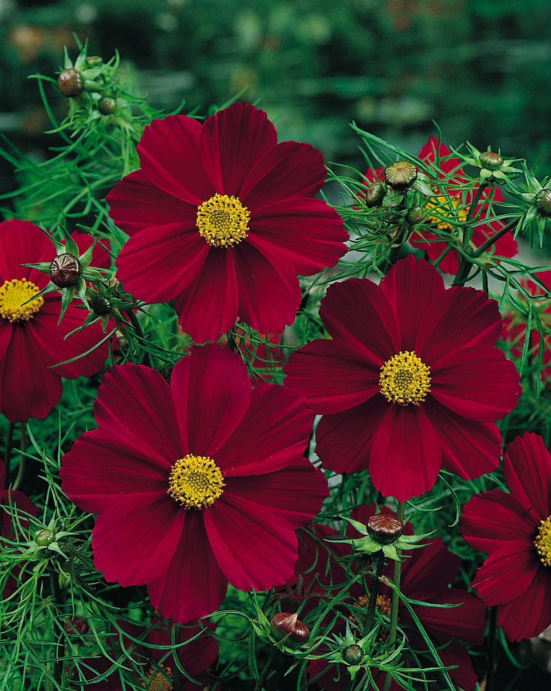 Tetra Ver Red Cosmos Archives Aggie Horticulture