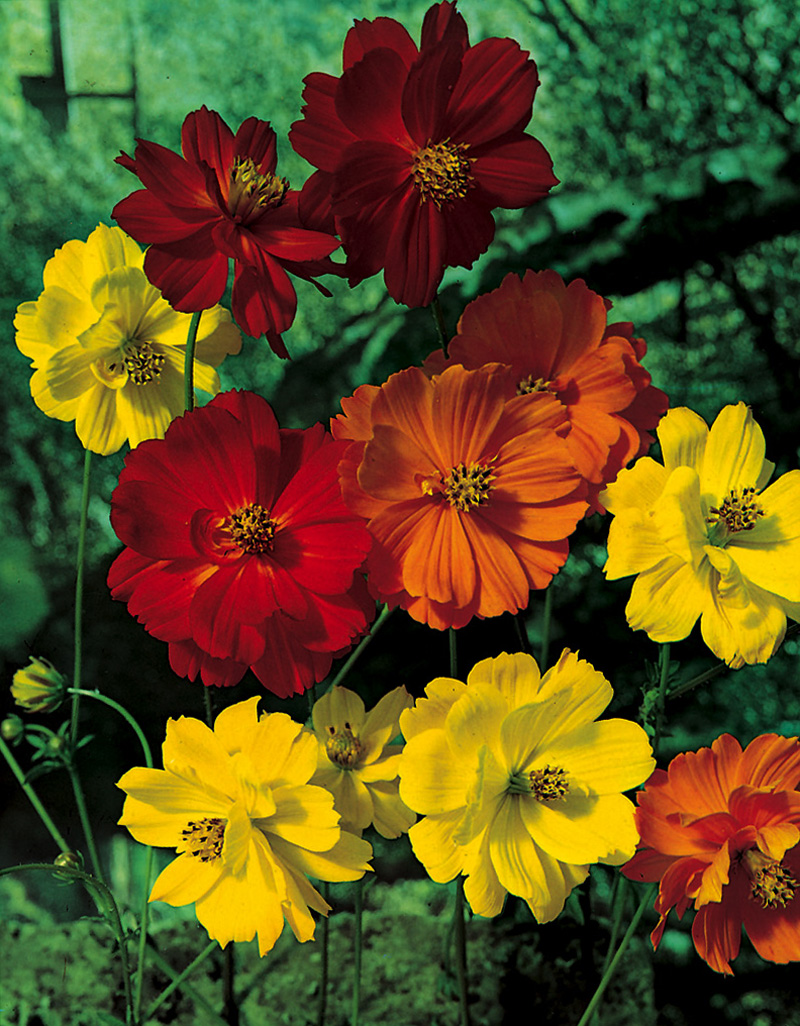 Cosmos archives aggie horticulture yellow cosmos klondyke mix mightylinksfo