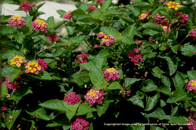 Lantana Archives Aggie Horticulture