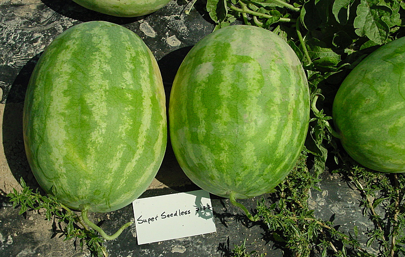 Watermelon Variety Trials 2001 Super Seedless 7177