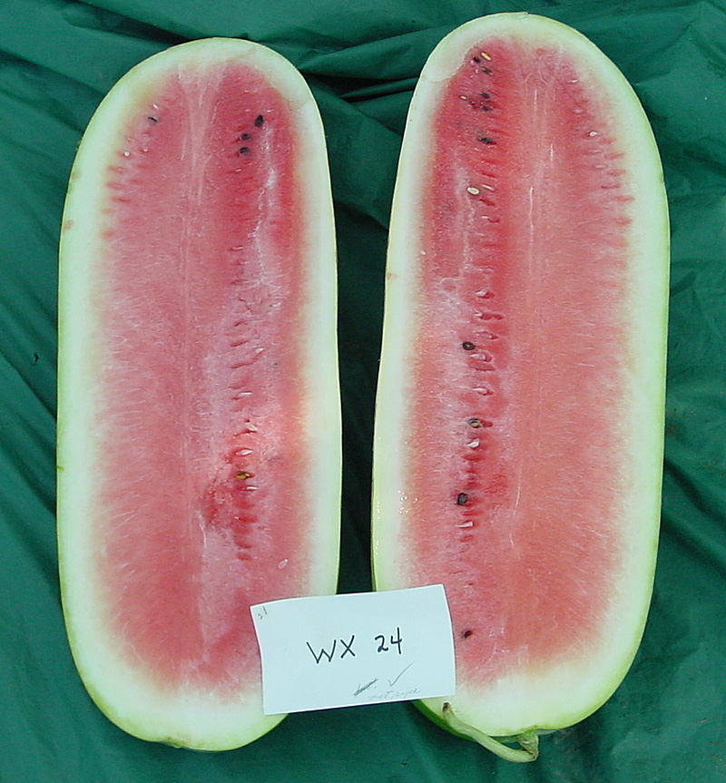 Watermelon Variety Trials 2001 Wx 24 Archives Aggie