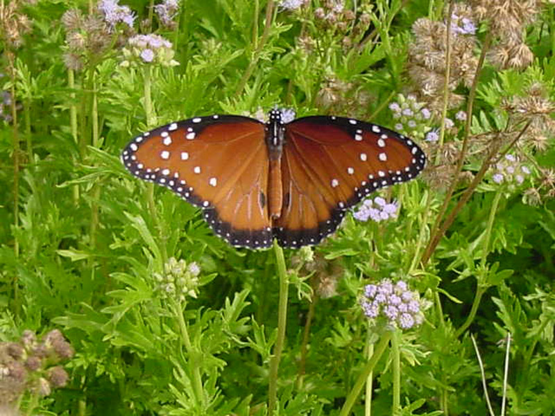 Mistflowers - Queen Monarch Butterfly Queen Butterfly Vs Monarch