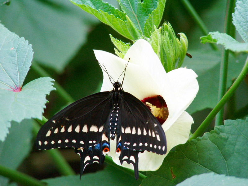 Okra Life Cycle http://aggie-horticulture.tamu.edu/databases/butterflies/butterfly-gallery/pages/Okra-No3.html