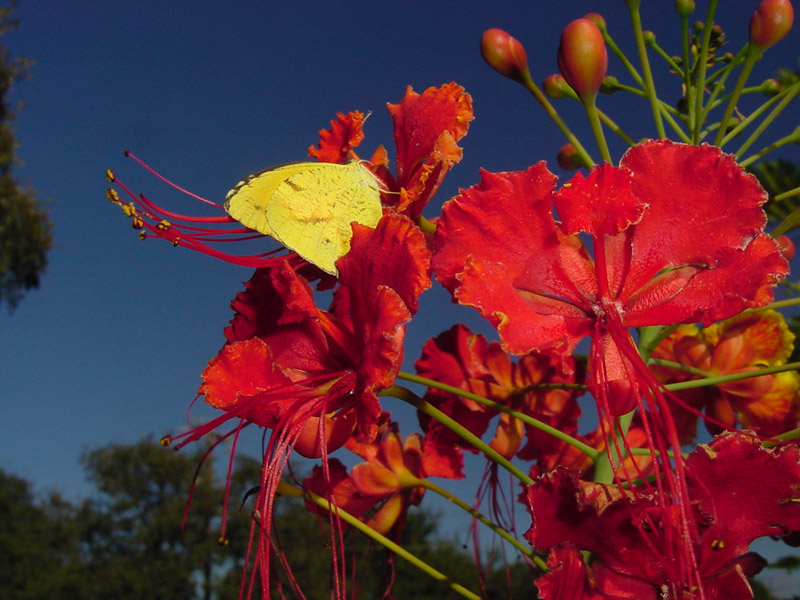 Pride Of Barbados Sleepy Orange Butterfly