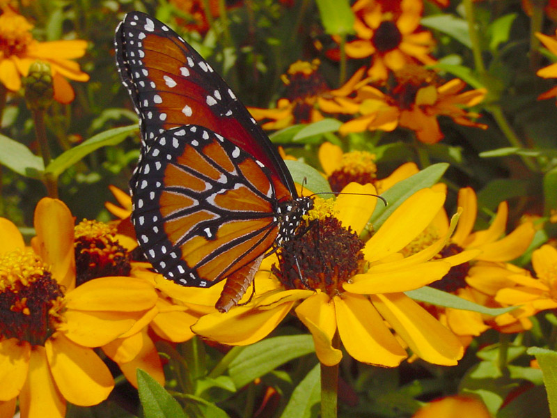 Zinnia - Queen Monarch Butterfly Queen Butterfly Vs Monarch