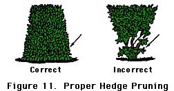 figure 11, proper hedge pruning