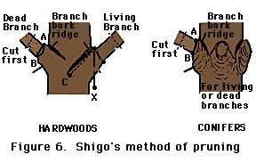 figure 6, Shigo's method of pruning