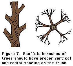 figure 7, scaffold branches of trees should have proper vertical and radial spacing on the trunk
