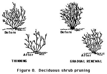 figure 8, deciduous shrub pruning