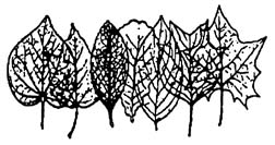 line drawing of overlapping leaves with different shapes