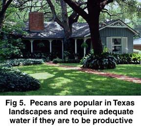 Fig 5. Pecans are popular in Texas landscapes and require adequate water if they are to be productive.