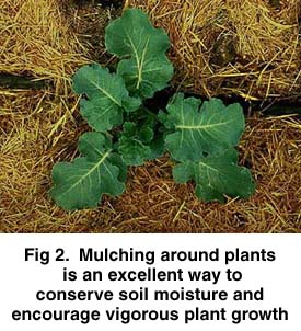 Fig 2. Mulching around plants is an excellent way to conserve soil moisture and encourage vigours plant growth.