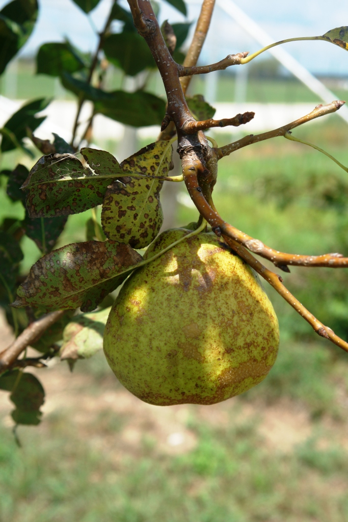 Asian pear horticulture
