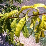 peach iron chlorosis
