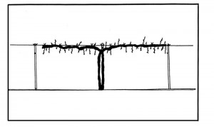 Figure 1. Single curtain pruning systems for muscadine grapes.