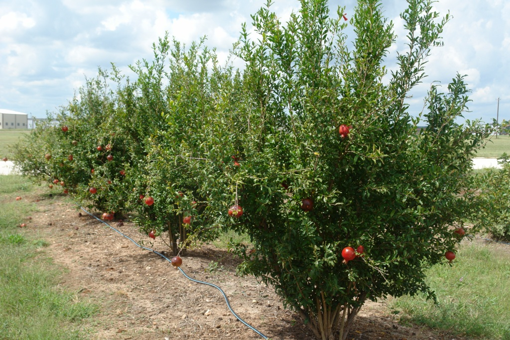 how to take care of pomegranate tree