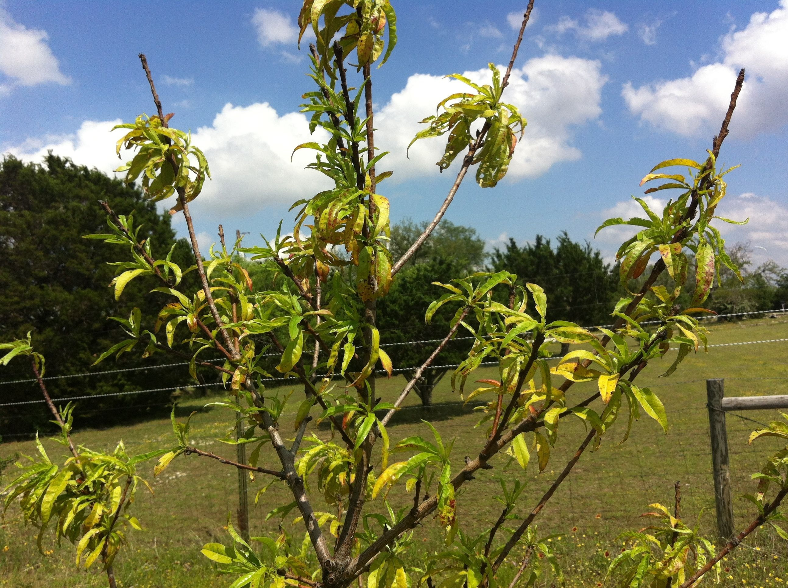 Texas fruit growers blog fruit nut resources you can see that scott has a good mulch layer down to conserve moisture and eliminate weed competition but this tree has a couple of problems going on m4hsunfo