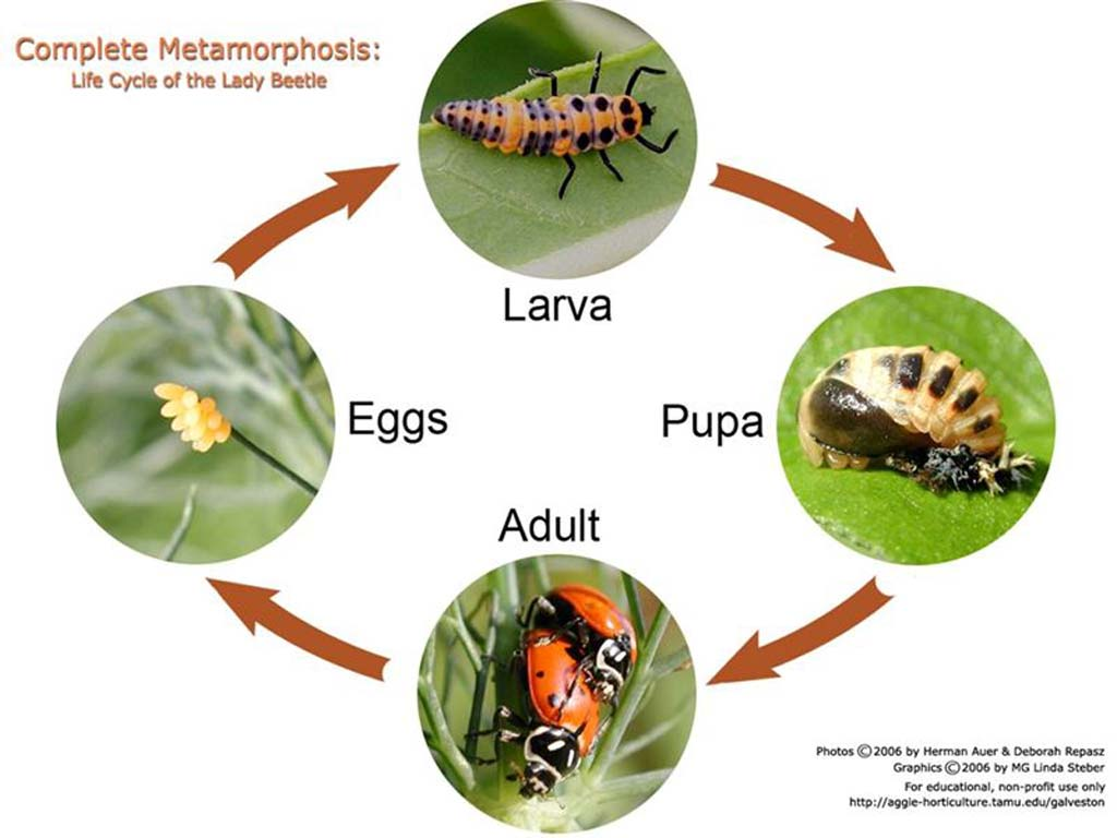 gardening handbook  types of insect metamorphosis