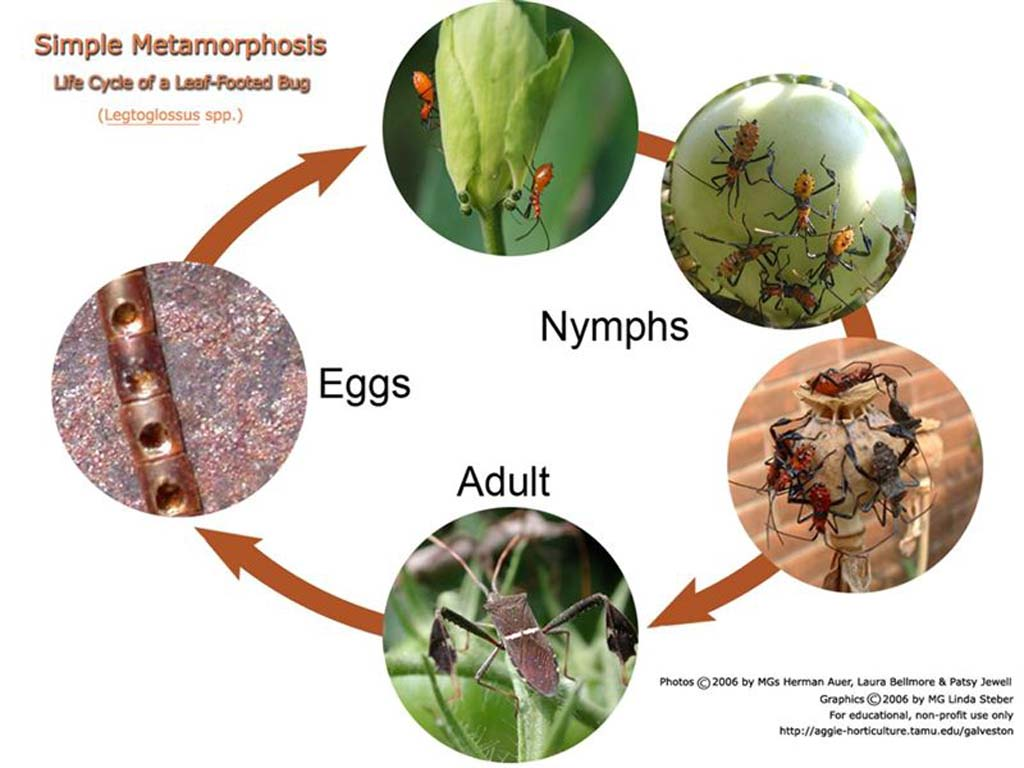 Beneficials D type metamorphosis moreover Stock Illustration Caterpillar Butterfly Green Larval Form Lepidoptera Consisting Moths Butterflies Vector Illustration Image48799201 additionally Sb9619 Ladybird Life Cycle Word Mat in addition  as well Measuring With Ruler Worksheets. on ladybug life cycle