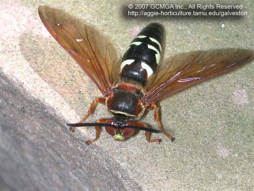 Beneficial Insects In The Garden 03 Cicada Killer Wasp