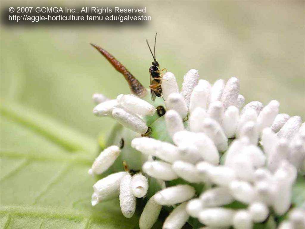 Beneficial insects in the garden: #04 Braconid Wasp on Hornworm
