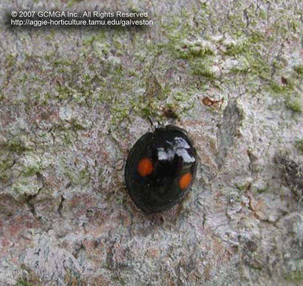 Small black spotted beetles in house - The Adult Stage Of The Twice Stabbed Lady Beetle Chilocorus Cacti In Our Area Is All Black Except For Two Orange Red Colored Spots