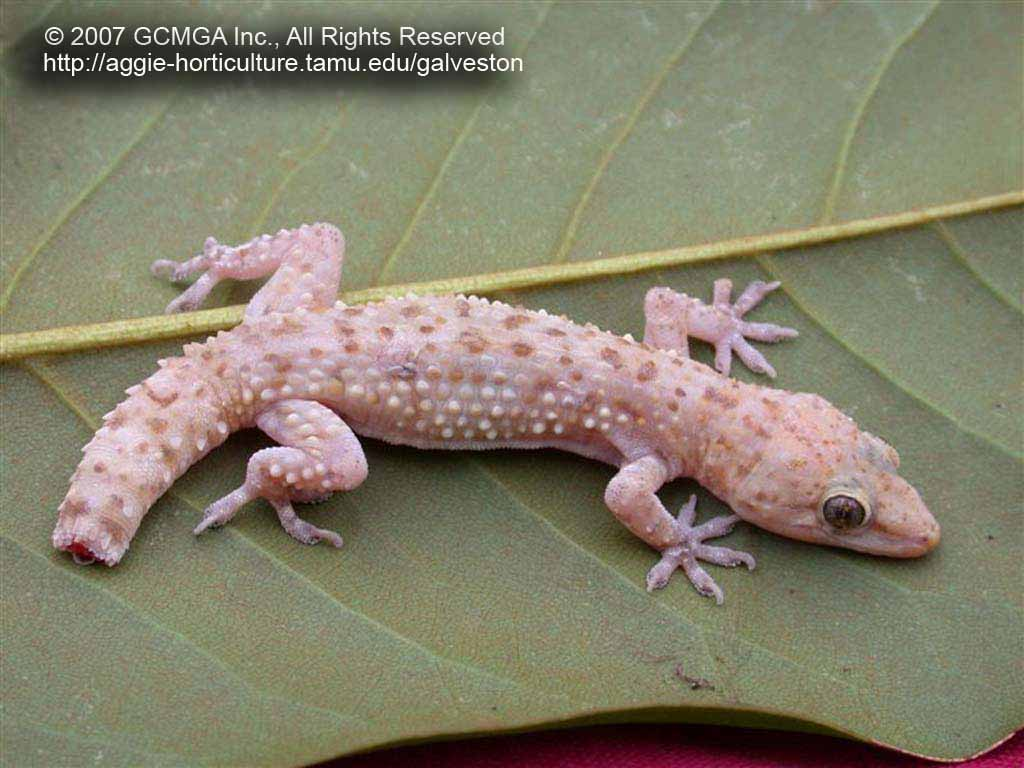 Beneficial Lizards In The Landscape 17 Mediterranean Gecko Hemidactylus Turcicus