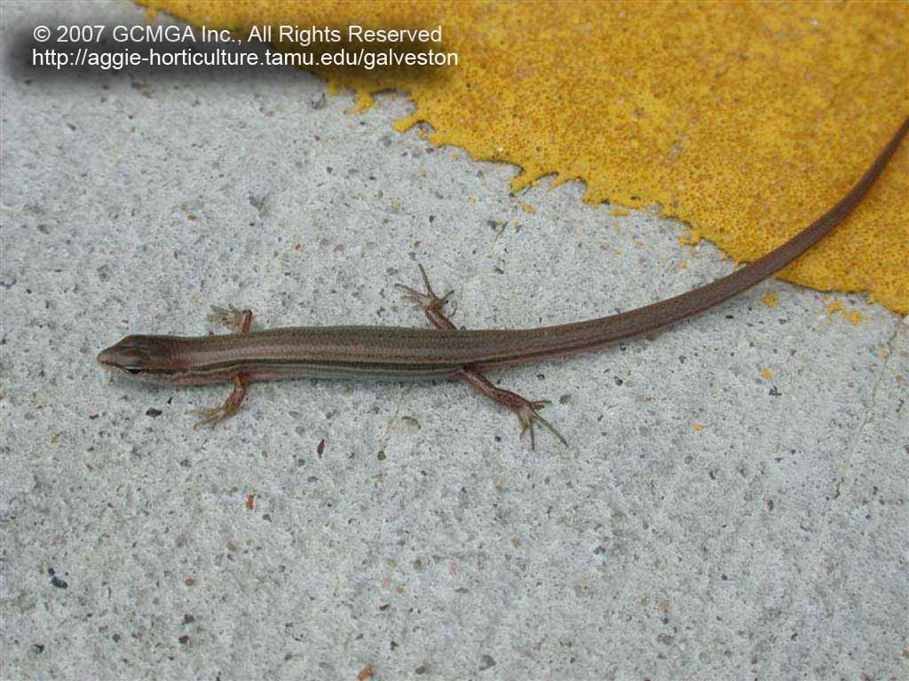 FIGURE 2 This Skink Was Photographed In One Of Our County Parks While Sunning Itself The Middle A Concrete Road