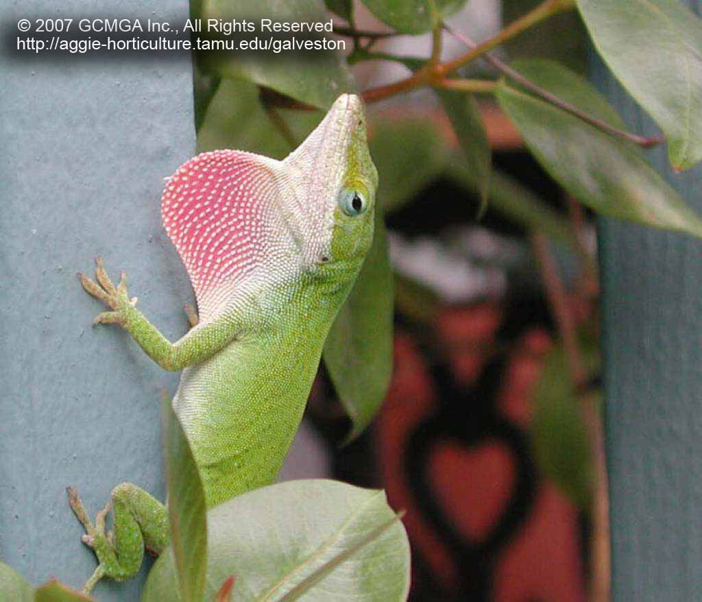 FIGURE 2 Male Anoles Have A Pink Colored Throat Fan Called Dewlap Which Is Used In Both Territorial And Courtship Displays Grow To 5 7 Inches