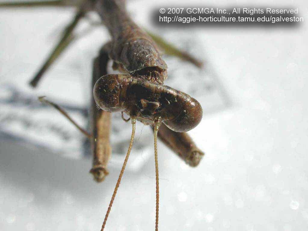 Beneficial insects in the garden: #20 Praying Mantis - Mantids