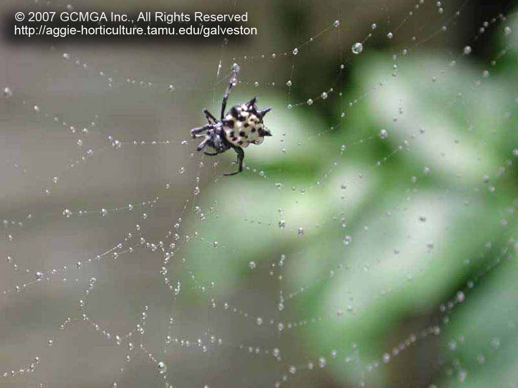 Beneficial spiders in the landscape: #23 Spiny Orb Weaver Spider