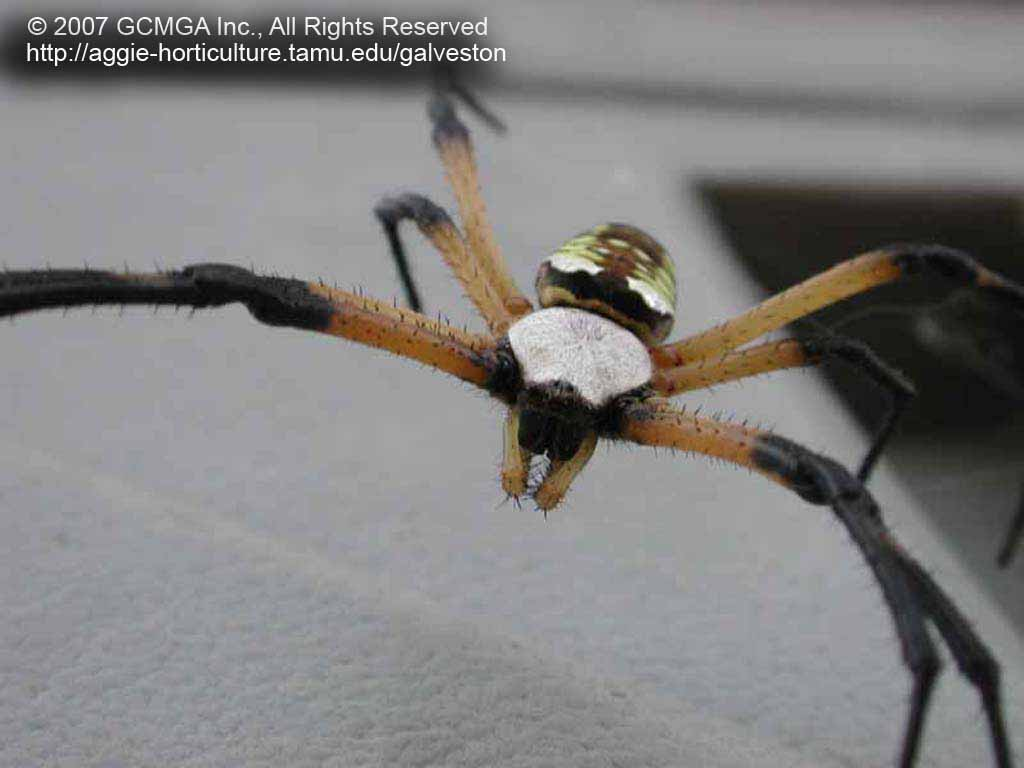 The Black And Yellow Argiope Spider Has A Cephalothorax (fused Head And  Thorax) Covered With Short, Silvery Hairs. The Shiny, Egg Shaped Abdomen  Has Yellow ...