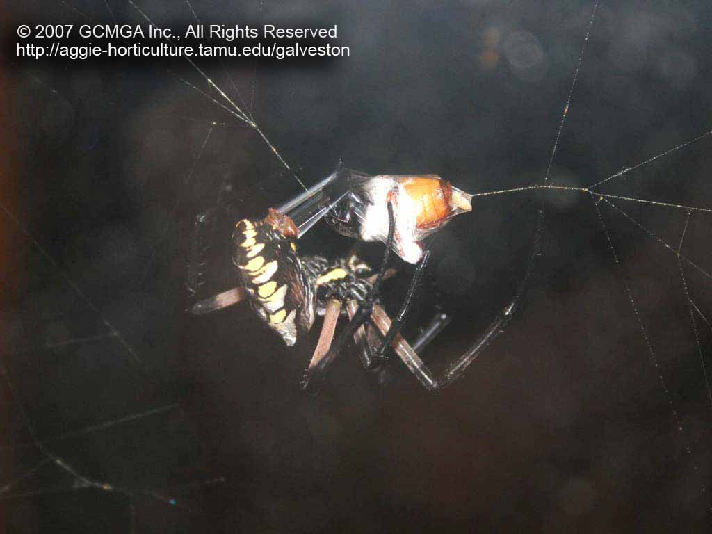 Beneficial spiders in the landscape 24 garden spider argiope figure 3 argiope aurantia is carnivorous predator and attacking flying insects that get trapped in its web pictured above is an adult brown june bug buycottarizona