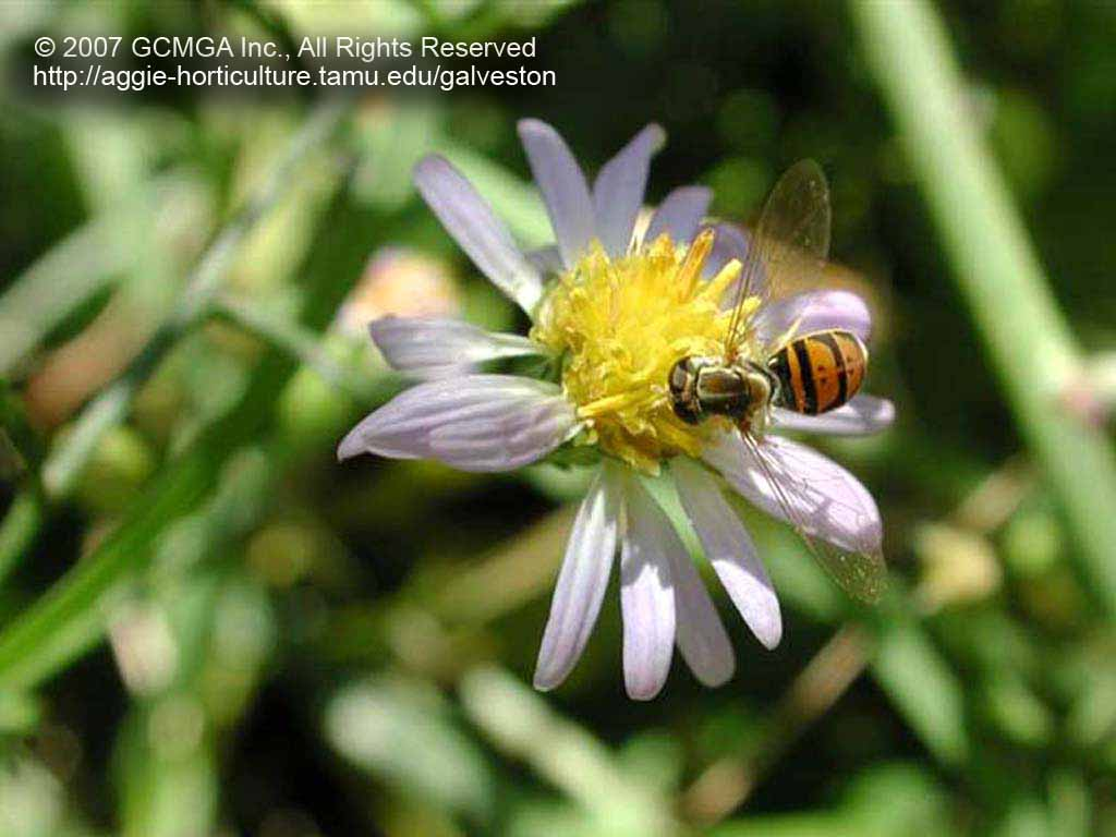 Beneficial Insects In The Garden 28 Hover Flower Or