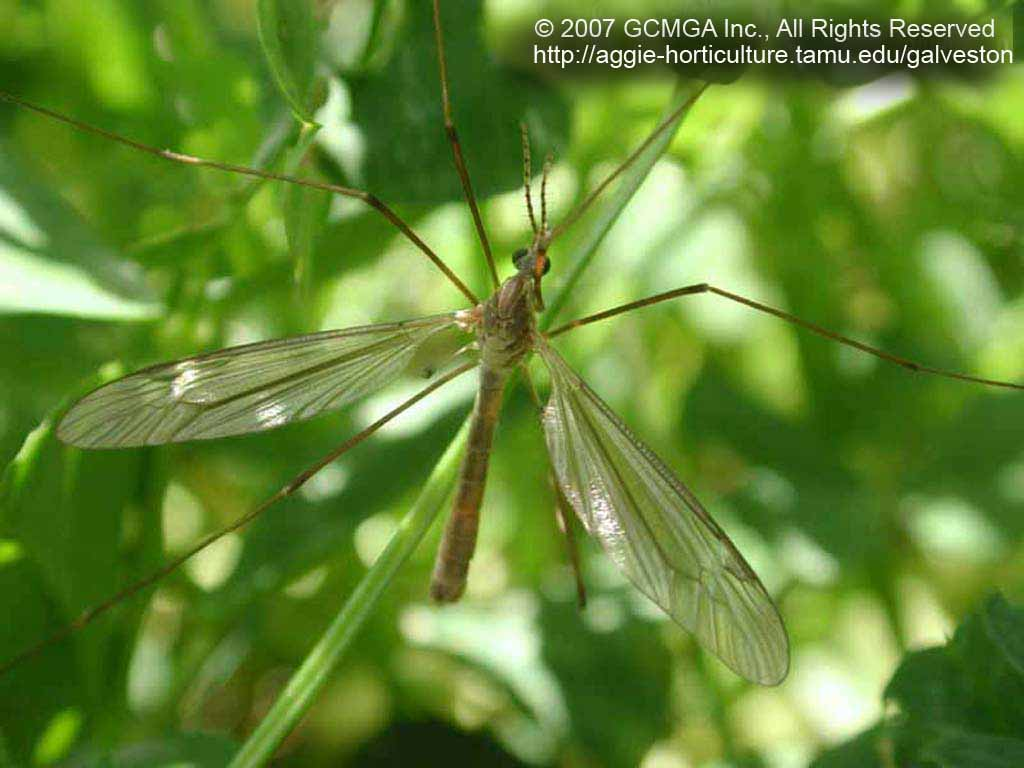 Beneficial insects in the garden: #29 Crane Flies (Tipula sp )