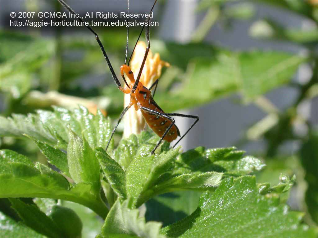 Beneficial insects in the garden: #06 Milkweed Assassin Bug