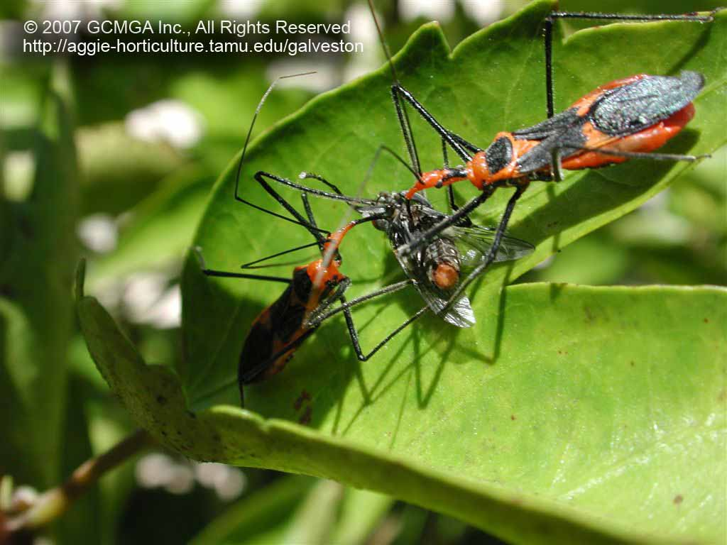 Beneficial insects in the garden: #06 Milkweed Assassin ...