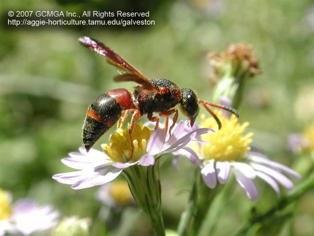 beneficial insects in the garden 39 red black mason wasp