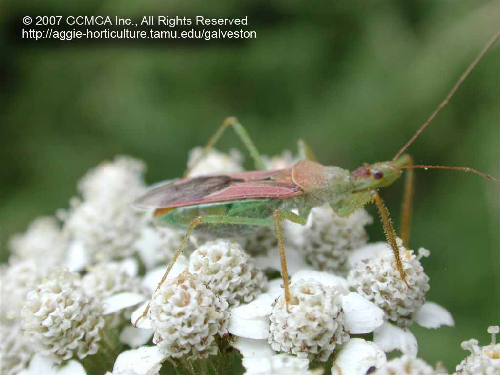 Beneficial insects in the garden: #53 Leafhopper Assassin Bug