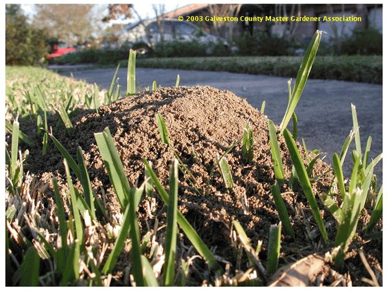 Beneficials in the landscape: #56 Fire Ants - Can bad bugs