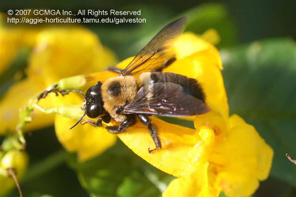 Beneficial Insects In The Landscape 63 Carpenter Bees Pollination