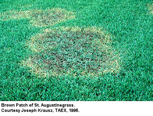 brown patch of st augustine grass