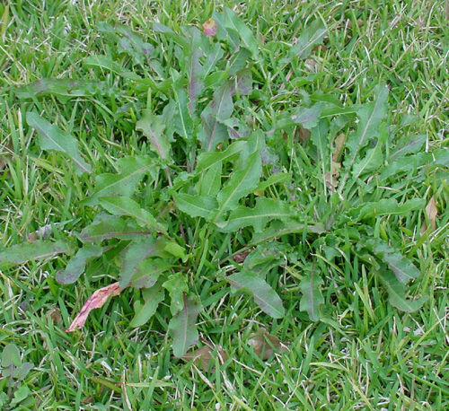 TurfWd Managing Turf Weeds | Spring Lawn Tips