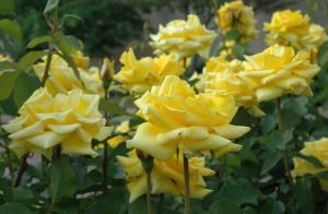 Quot Grandma S Yellow Rose Quot Newest Selection For Texas