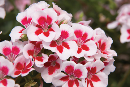 2012 Year Of The Geranium Hortupdate March 2012 Aggie