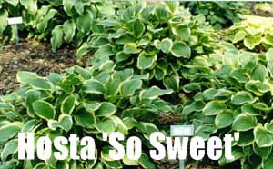 Looking For The Best Hostas